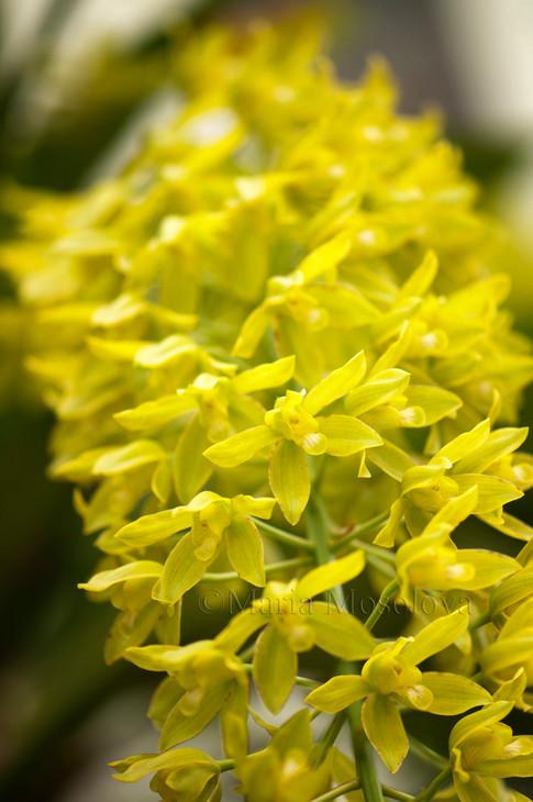 Grammatophyllum scriptum var. citrinum