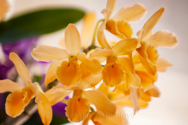 Dendrobium Fancy Yellow