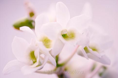 Dendrobium Spring Dream 'Apollon'