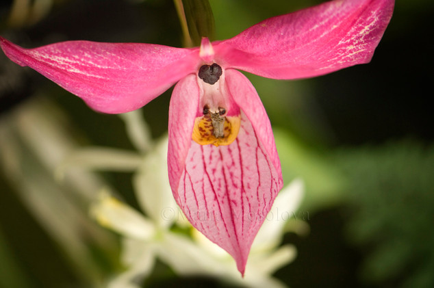Disa Orchid Flower
