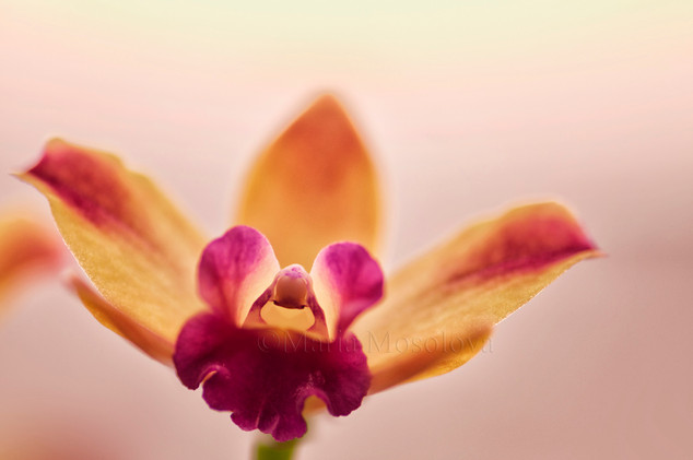 A close-up of Mini Cattleya Orchid Newberry Ruby Flower
