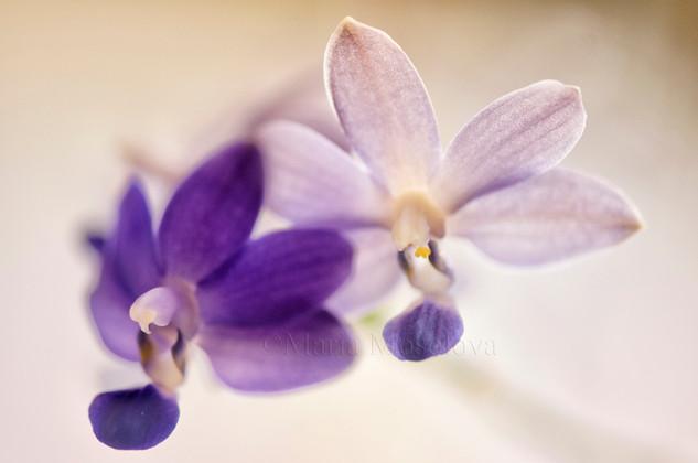 Phalaenopsis Purple Martin