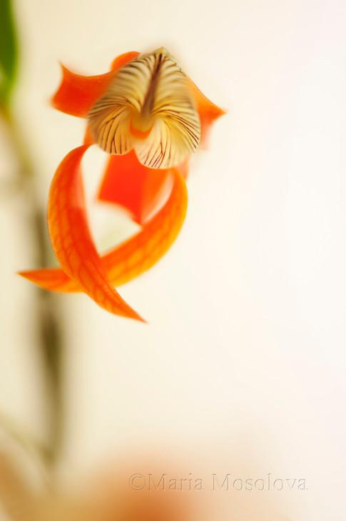 Dendrobium unicum Orchid Plant in Flower