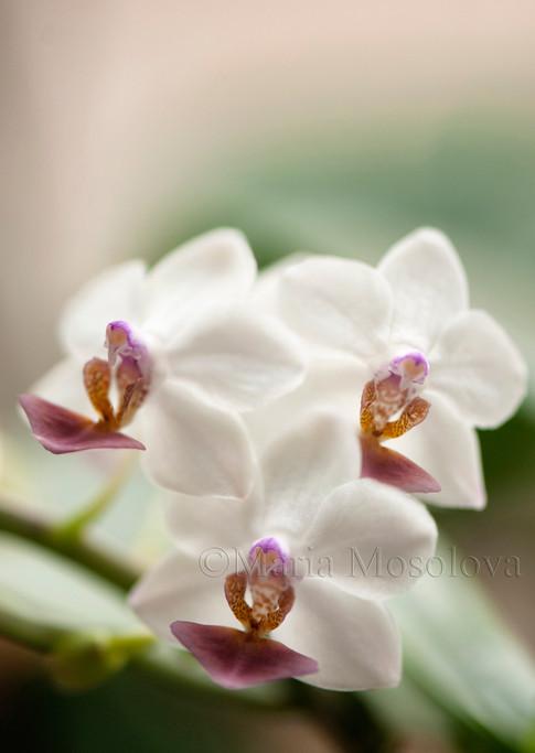 Phalaenopsis Memoria Liu Jin-Chyuan 'Yaphon'