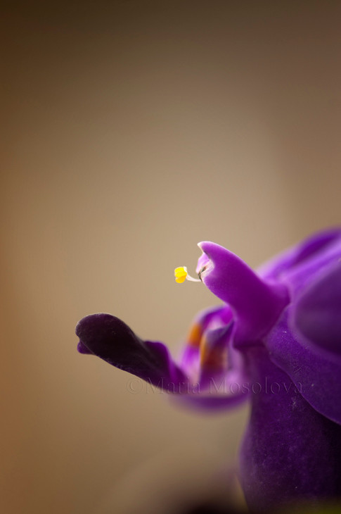Phal.  Sapphire's Galah. A close-up of a flower with pollen grains