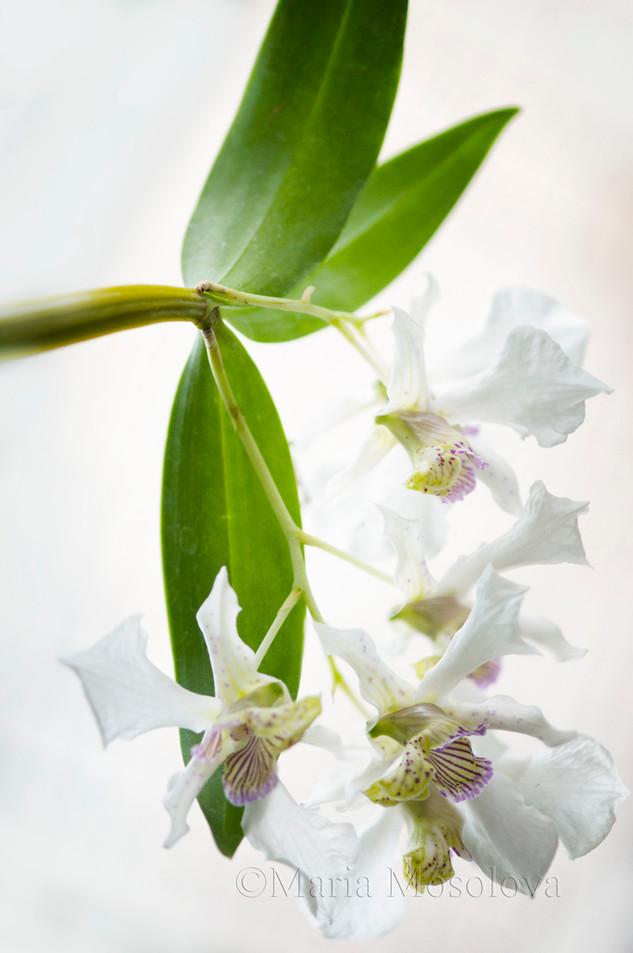 Dendrobium Roy Tokunaga