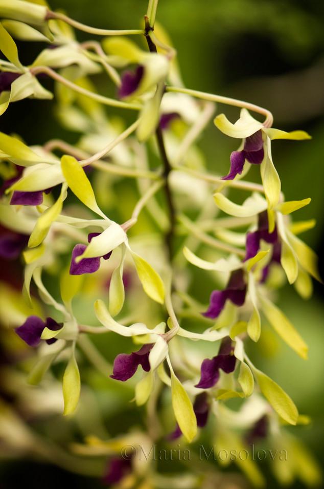 Dendrobium Pixie Princess 'H & R'