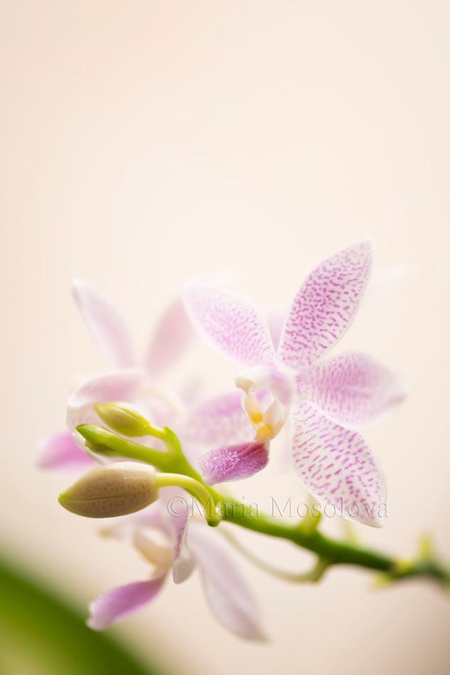 Phalaenopsis Taida Sunshine