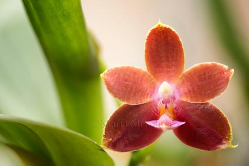 Phalaenopsis Pylo's Red Fancy