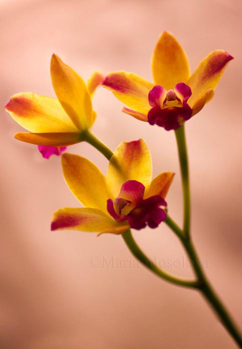 Mini Cattleya Orchid Newberry Ruby Flower Trio