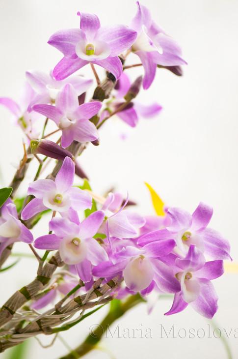 Dendrobium Orchid  Hamana Lake 'Kumi' flowers and buds