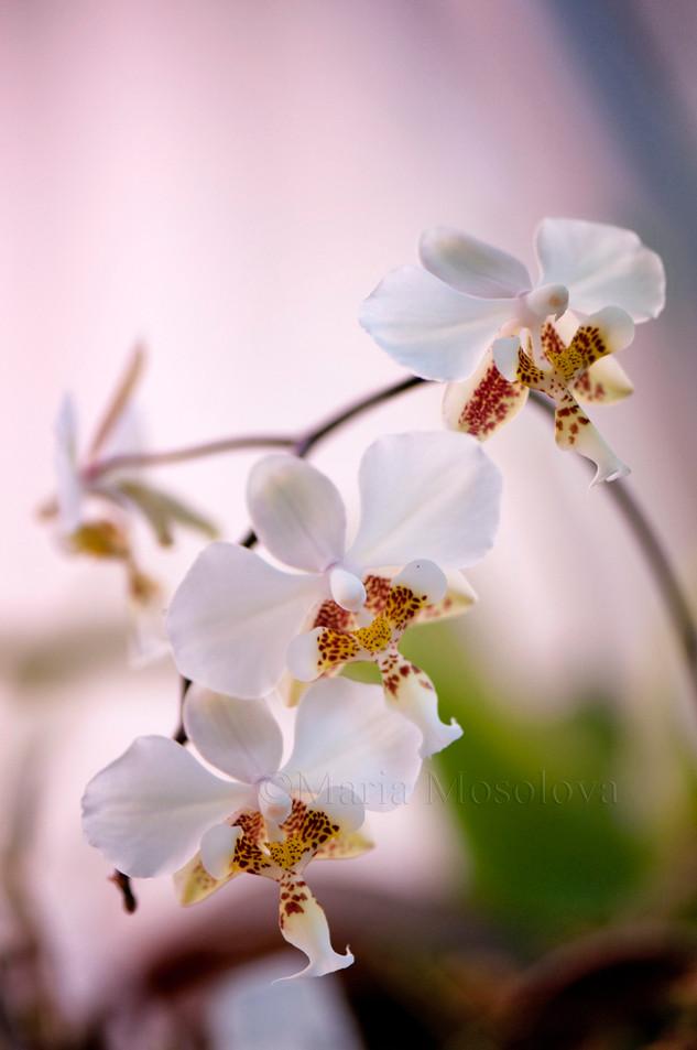 Blossoming inflorescence of phalaenopsis stuartiana