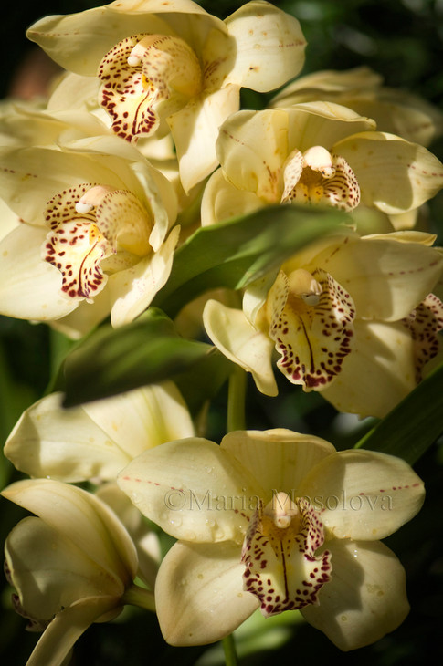 Yellowish with Red Spotted Lips Flowers of Cymbidium Orchid Hybrid