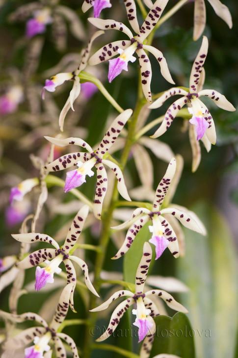 Encyclia Prismatocarpa