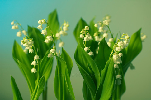 Lily of the Valley in Turquoise