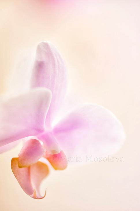 Phalaenopsis Orchid Glad Dawn 'Pink Cheer'