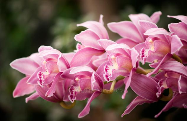Pink Cymbidium Orchid Flowers