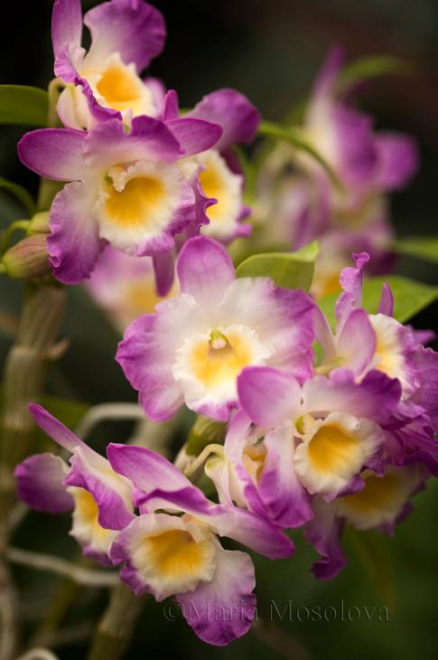 Dendrobium Angel Smile 'Kibi'