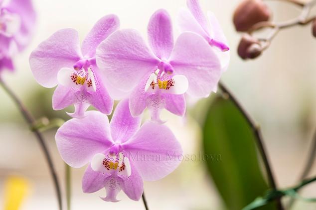Phalaenopsis schilleriana  (schilleriana 'Red' X schilleriana 'Wild Jungle')