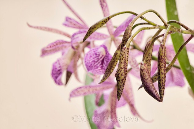 Buds and Spotted Flowers of Brassocattleya Orchid Maikai Louise
