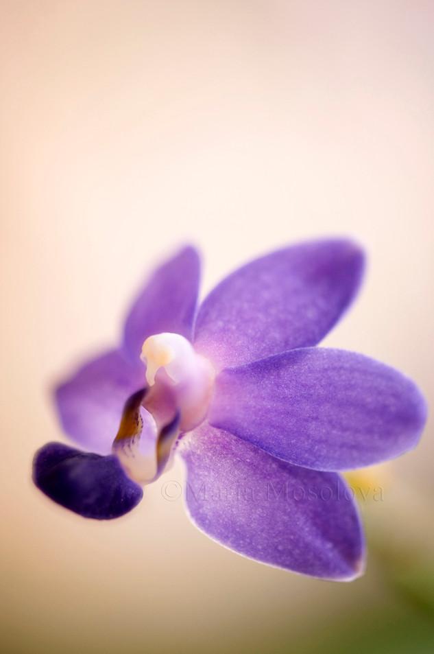 A single flower of phalaenopsis orchid Purple Martin