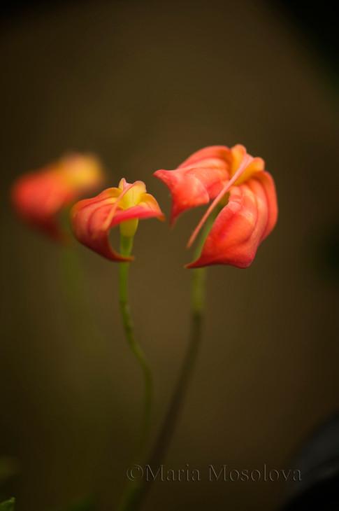 Masdevallia ignea var. aurantiaca