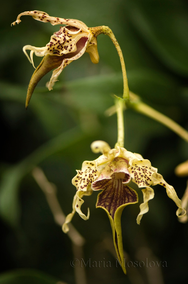Dendrobium alexandrae orchid flowers