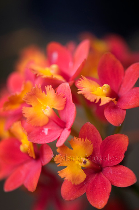 Red Epidendrum Orchid in Full Bloom