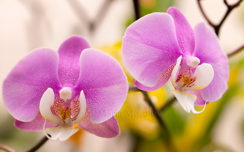Phalaneopsis Hilo Lip 'Newberry' x Phal Mary Brooks 'Mendenhall' AM/AOS