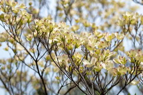 Blossoming White Dogwood