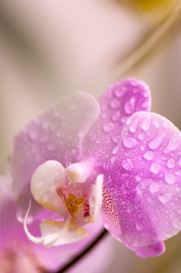 Phalaneopsis Hilo Lip 'Newberry' x Phal Mary Brooks 'Mendenhall' AM/AOS