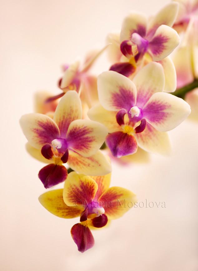 Phalaenopsis Sogo Gotris