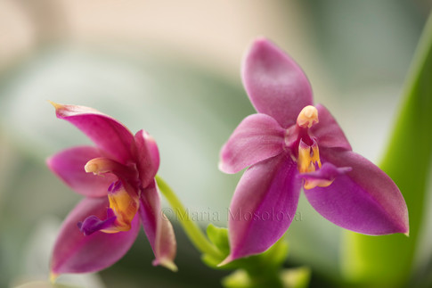 Two Flowers of Phalaenopsis Orchid Cesario Gene Tobia