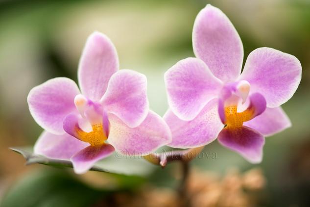 Phalaenopsis (Jong's Celebe Amah 'Peter Lin' X equestris)