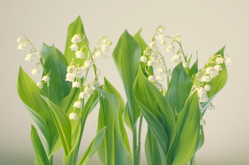 Lily of the Valley Flower Group