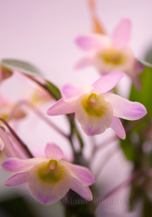 Dendrobium Spring Bird 'Kurashiki'
