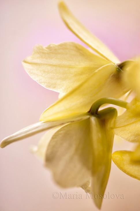 Dendrobium Yellow Magic 'Festival'