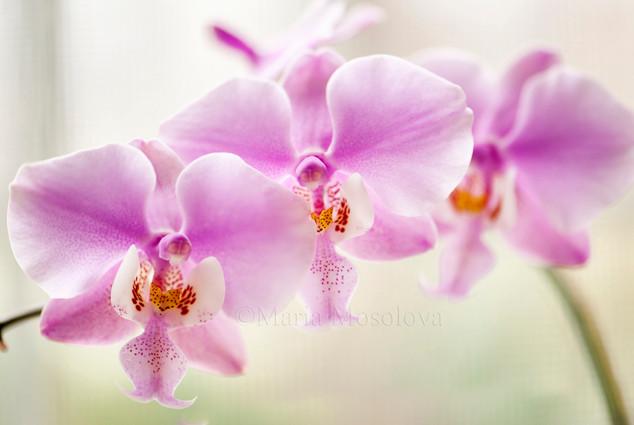 Phal. schilleriana 'Fragrant Butterfly'