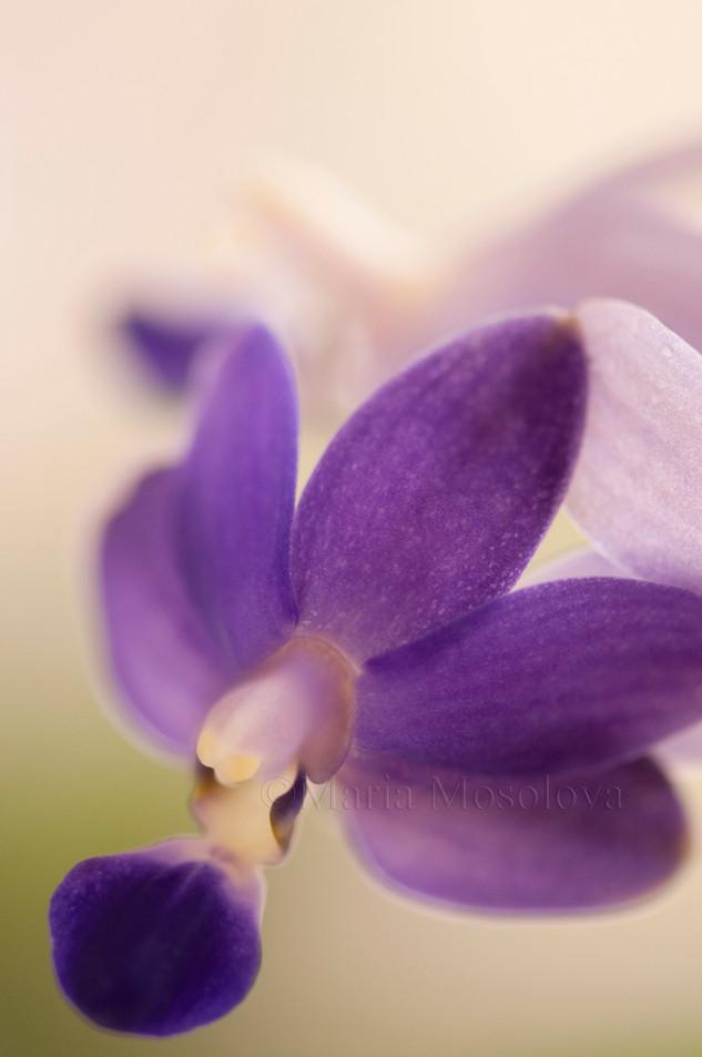 Doritaenopsis Orchid Purple Martin 'Champion'