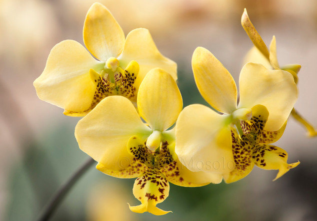 A group of flowers of yellow phalaenopsis stuartiana specie
