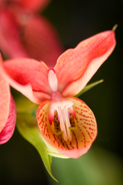 Disa Diores Orchid Flower