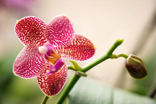 Phalaenopsis (Mituo Sun X KS Super Zebra 'Peter Lin')
