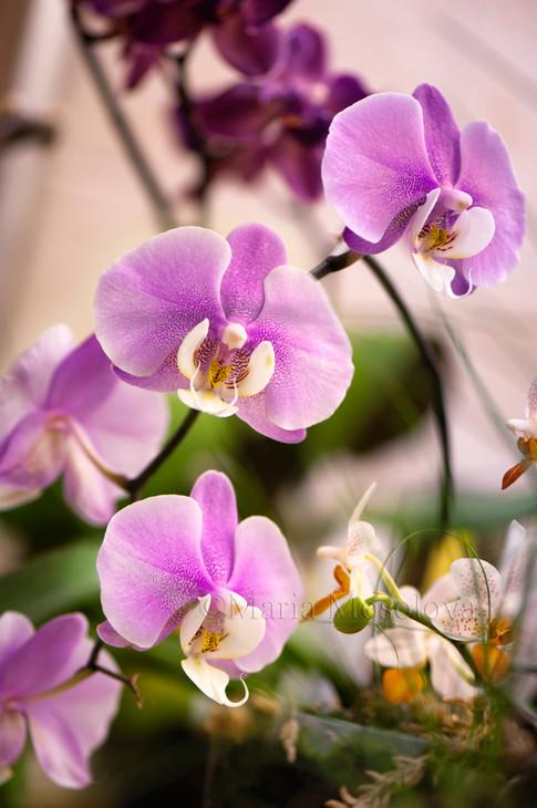 Phal Hilo Lip 'Newberry' x Phal Mary Brooks 'Mendenhall'  and phalaenipsis Mini Mark 'Holm'