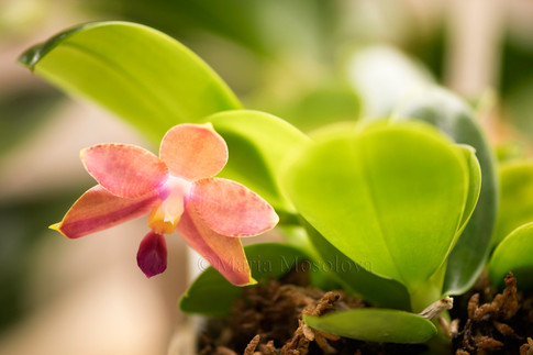 Phalaenopsis (Hannover Passion X Pylo's Sweet Purple). Seedling #1