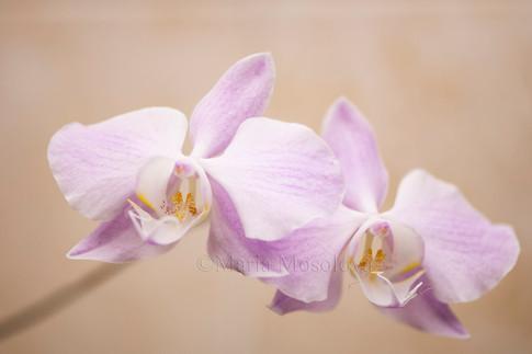 Phalaenopsis sanderiana ('Silver Leaf' X 'M312')