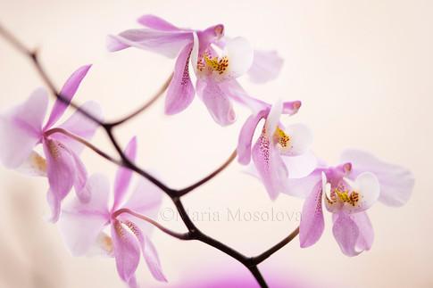 Phalaenopsis schilleriana 'Dark' x sib