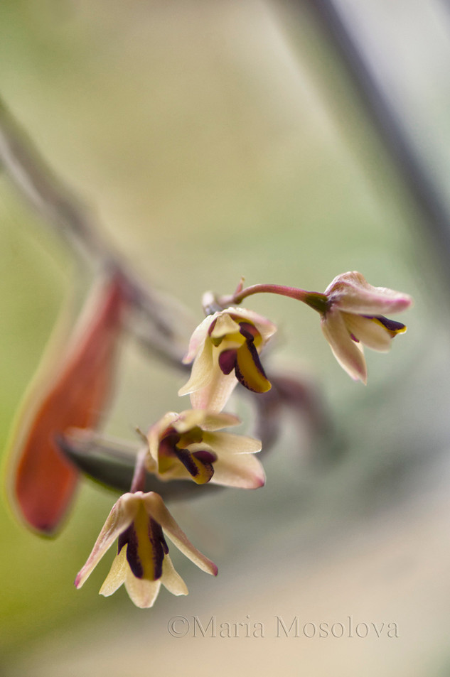 Dockrillia rigida Orchid Flower Chain