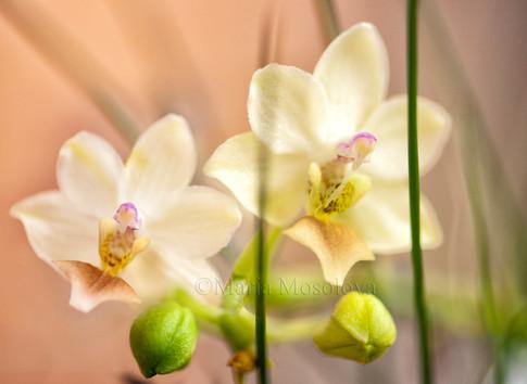 Phalaenopsis Memoria Liu Jin-Chyuan 'KF'