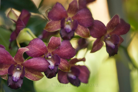 Dark Burgundy Dendrobium phalaenopsis hybrid