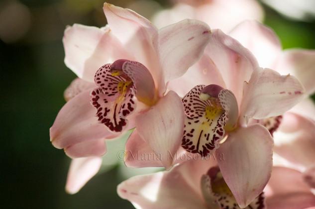 Pale Pink Flowers of Cymbidium Fall Festival